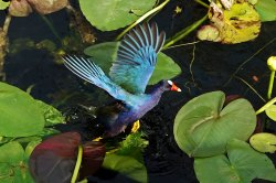 When a lily pad starts to give way, the Purple Gallinule flaps his wings to keep from sinking.