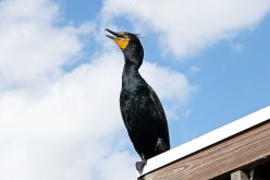 Double-crested Cormorant.