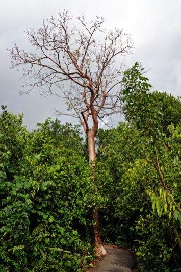 Gumbo Limbo Tree.