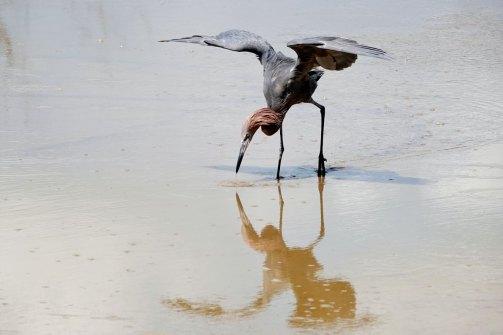 Reddish Egret doing his fishing dance.