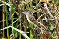 Brown-crested Flycatcher.