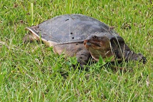 Florida Softshell Turtle.
