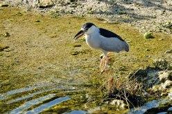 Black-crowned Night-Heron.