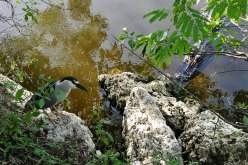 Black-crowned Night-Heron and an American Alligator.
