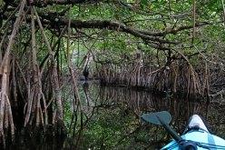 Entering a mangrove tunnel.