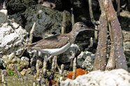 Spotted Sandpiper. We spotted this guy at the kayak launch back in Everglades City.