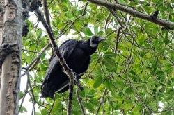 Black Turkey Vulture.