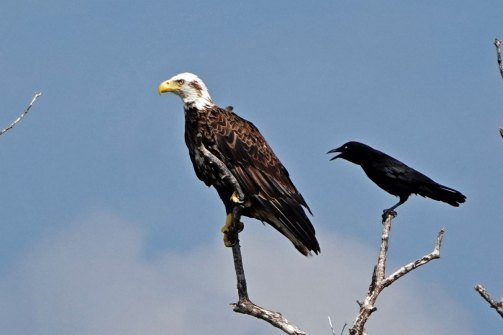 This crow seemed to be very unhappy with this Bald Eagle.