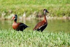 Black-bellied Whistling-ducks.