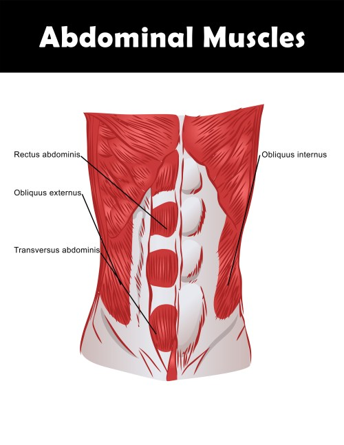 small resolution of abdominal muscle anatomy chart you can download and print