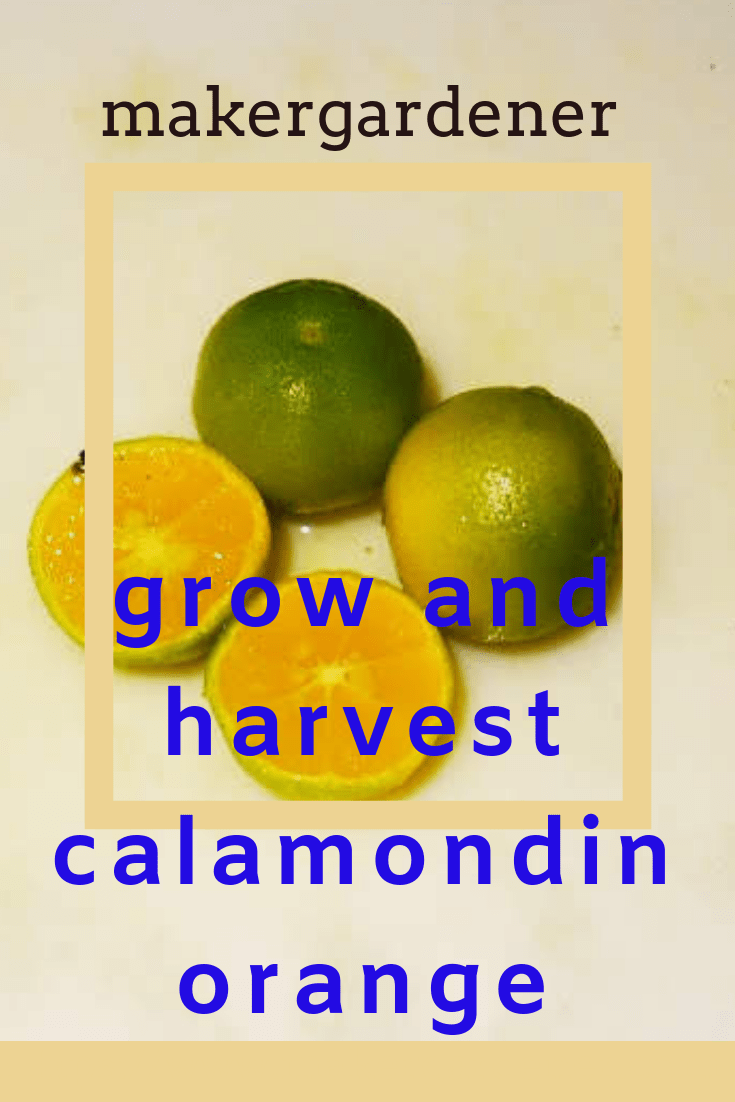 grow and harvest calamondin orange