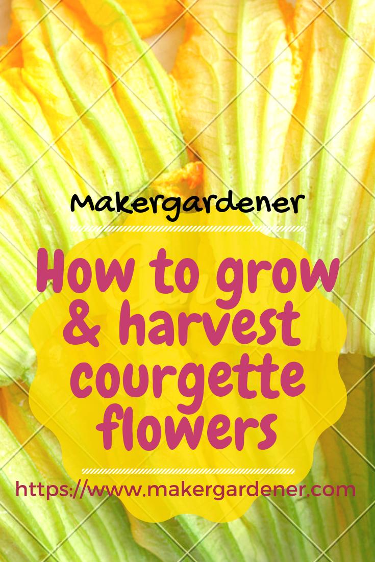 grow harvest courgette flowers