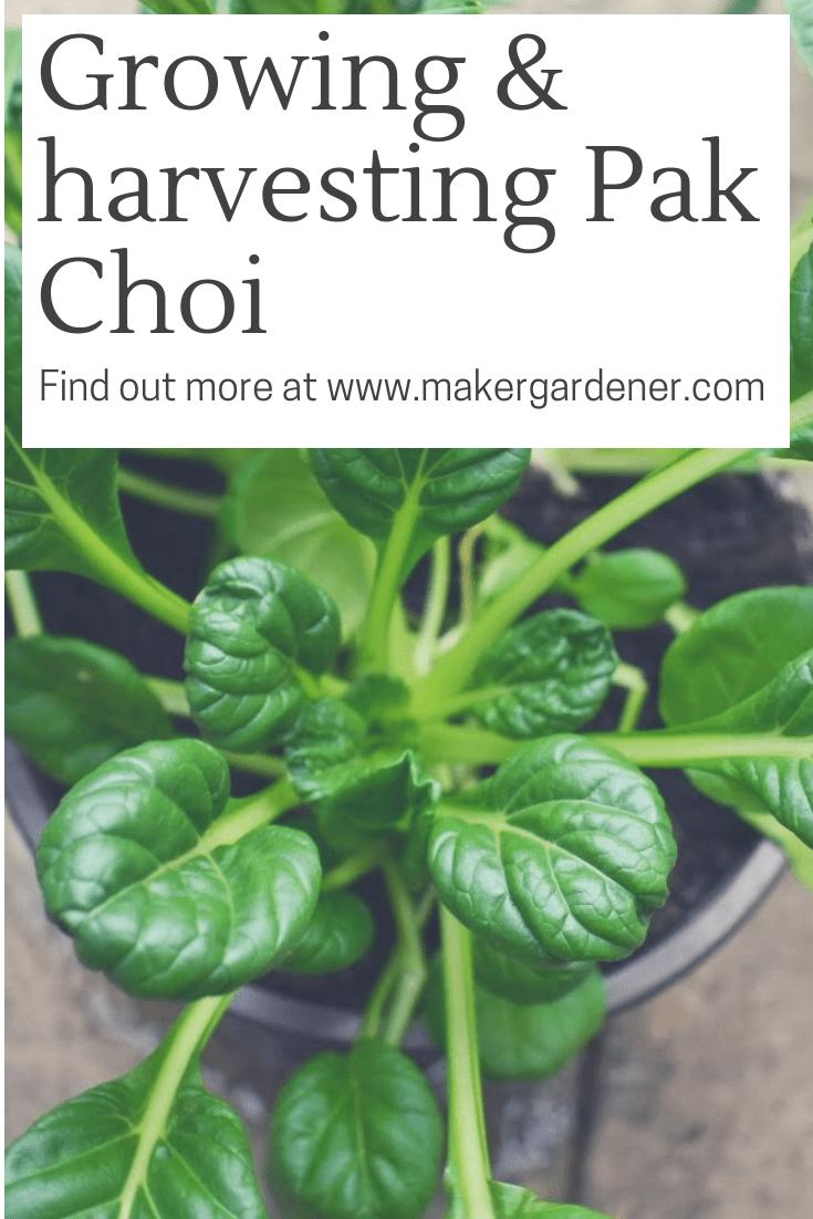 growing and harvetsing pak choi