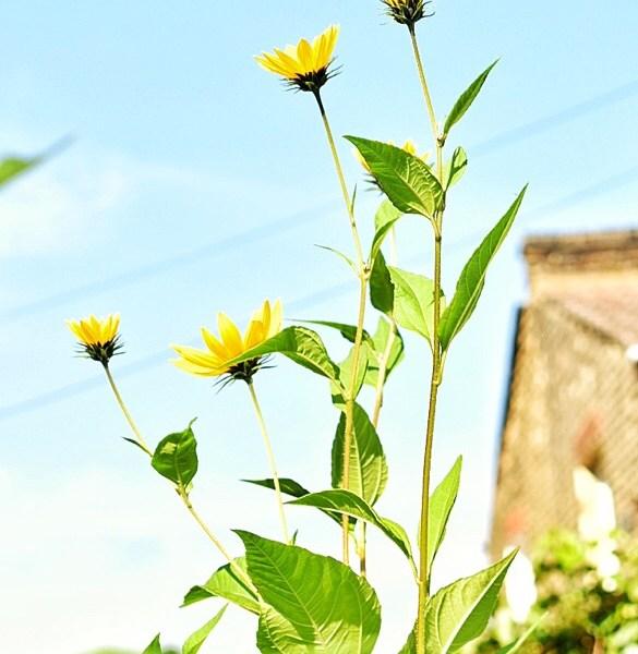 Jerusalem artichoke – growing and harvesting