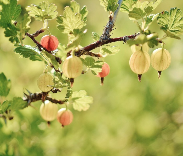 How to grow and harvest gooseberry
