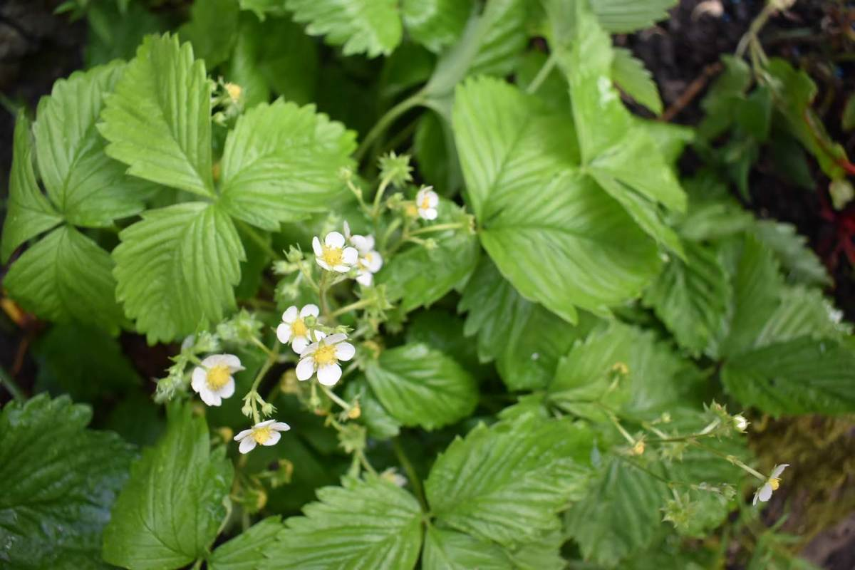 alpine strawberry flowering grow and harvest