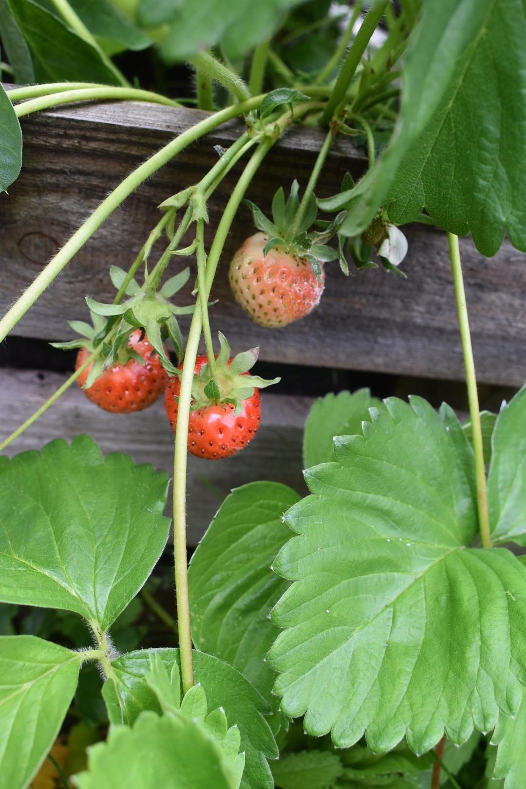 strawberry how to grow and harvest