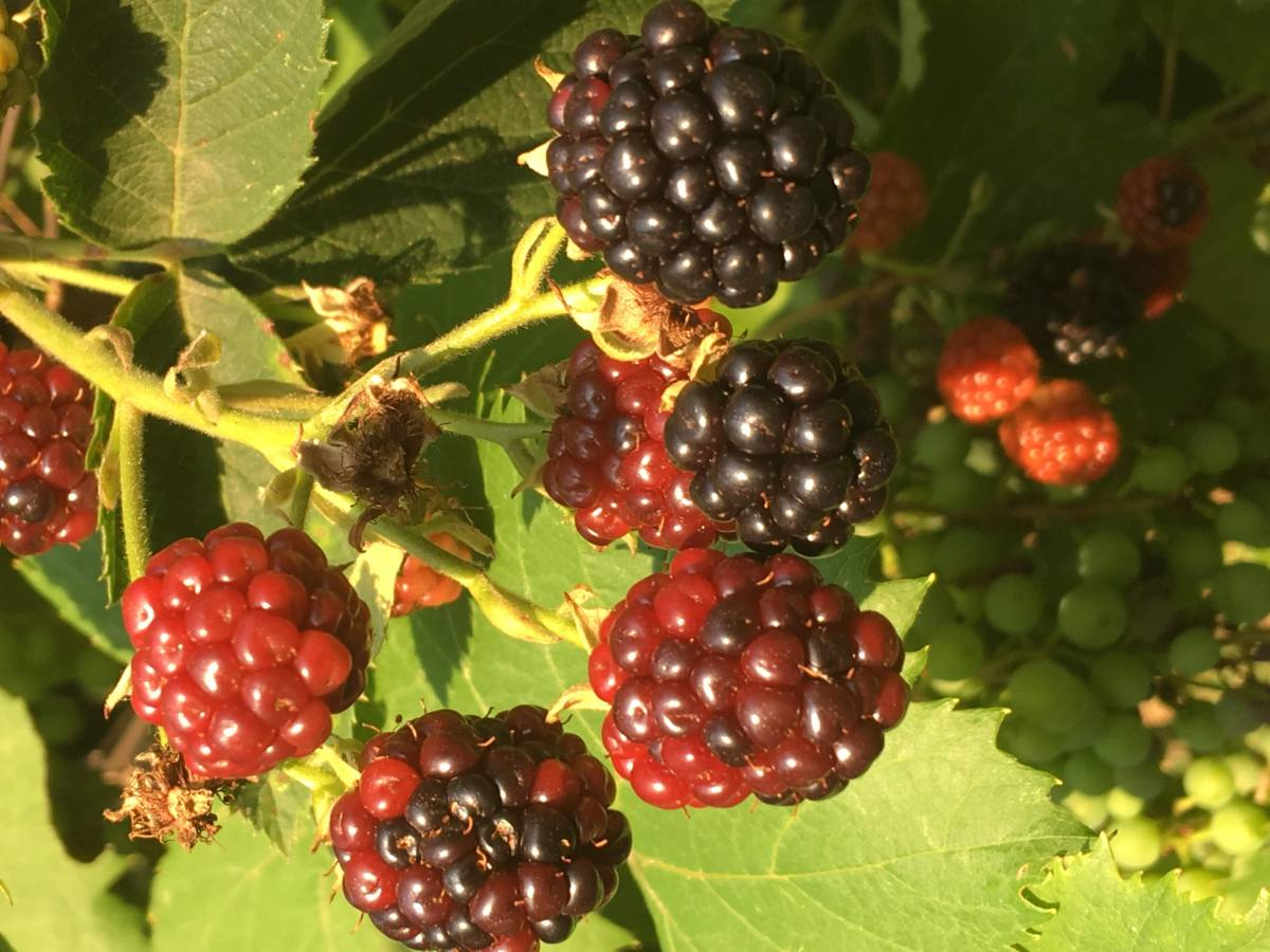 Blackberry growing and harvesting