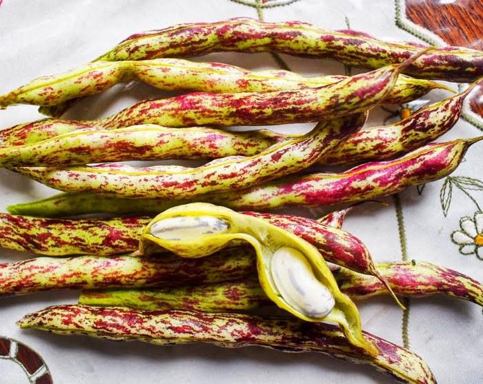 Growing and harvesting borlotti beans