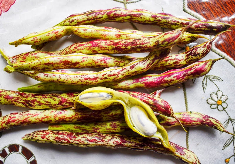 growing borlotti beans