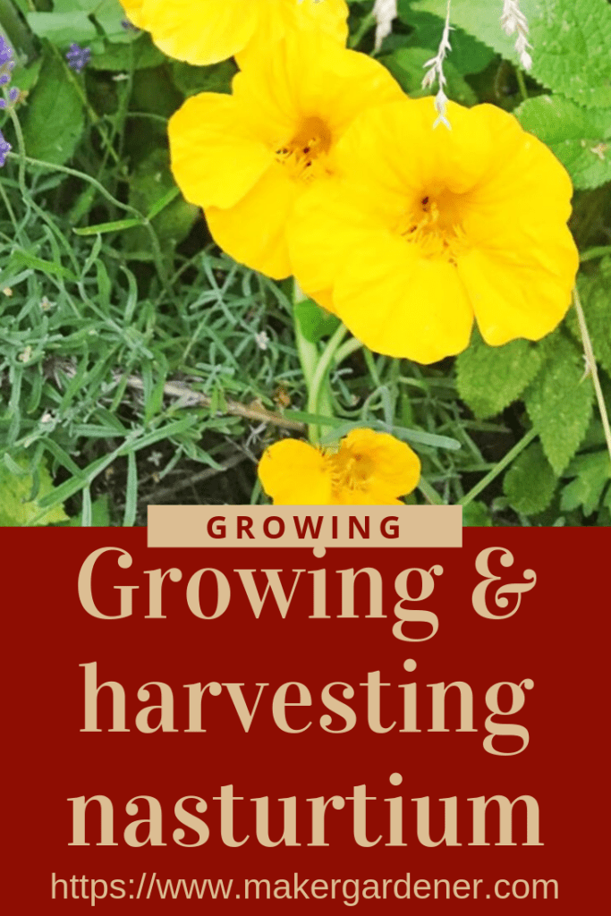 growing and harvesting nasturtium