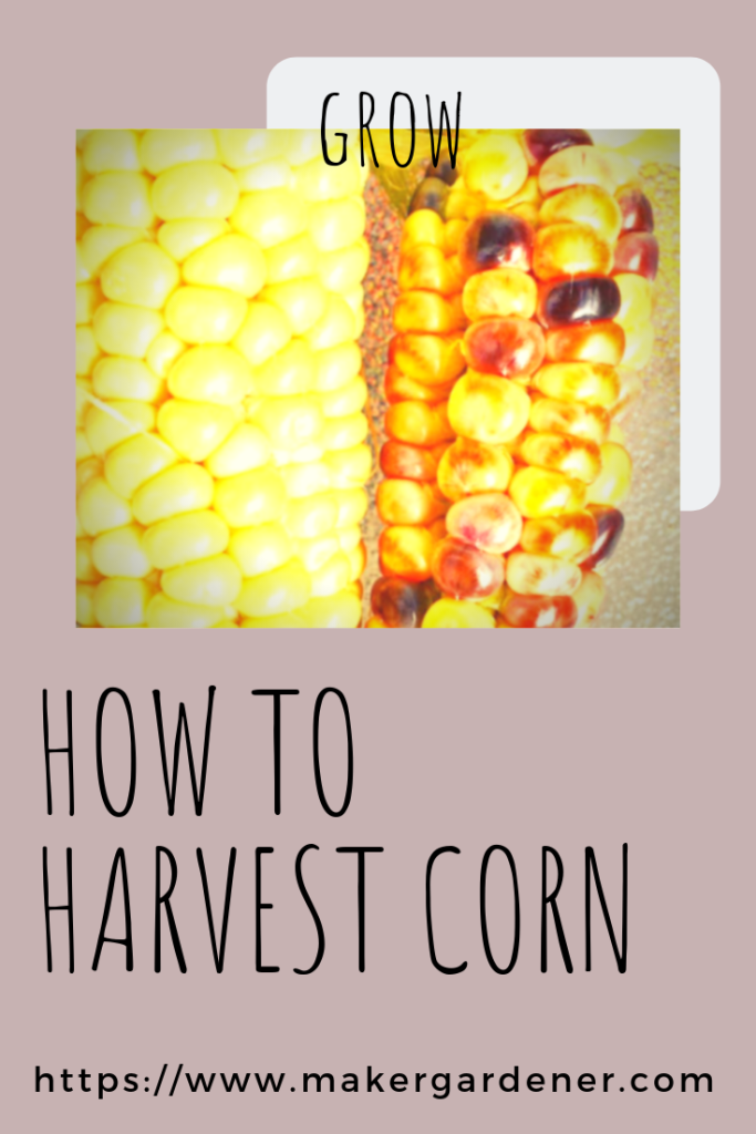 How to harvest corn