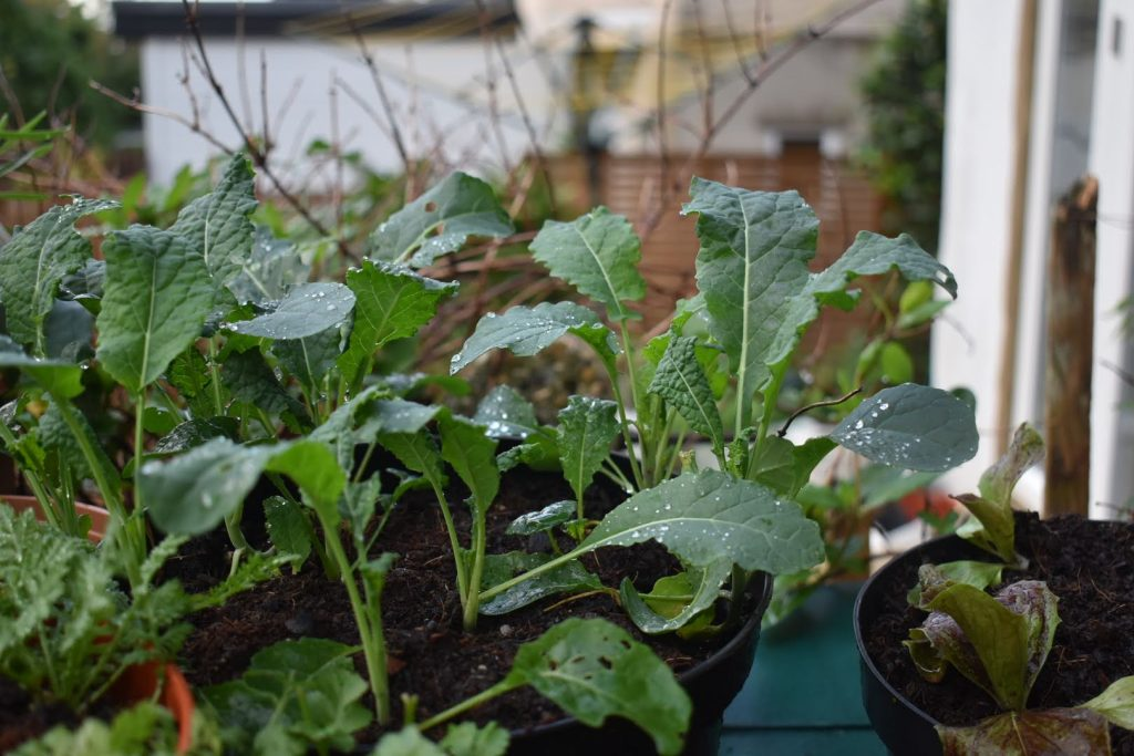 growing and harvesting kale/ cavolo nero
