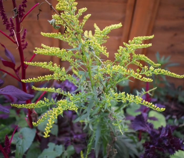 Growing and Harvesting goldenrod