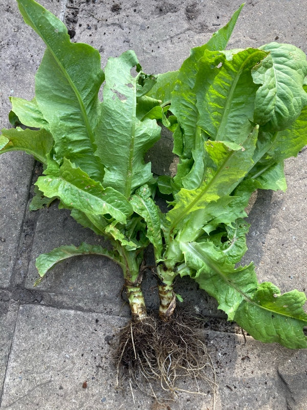 growing and harvesting celtuce