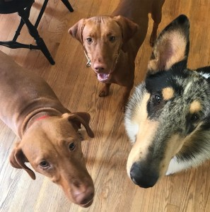 Where are the new BarkBox treats?!! barkbox collie colliesofinstagram vizslahellip