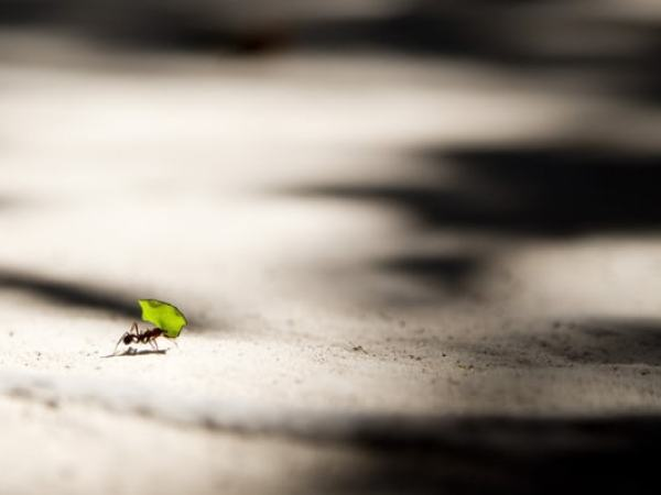 an ant carrying a leaf