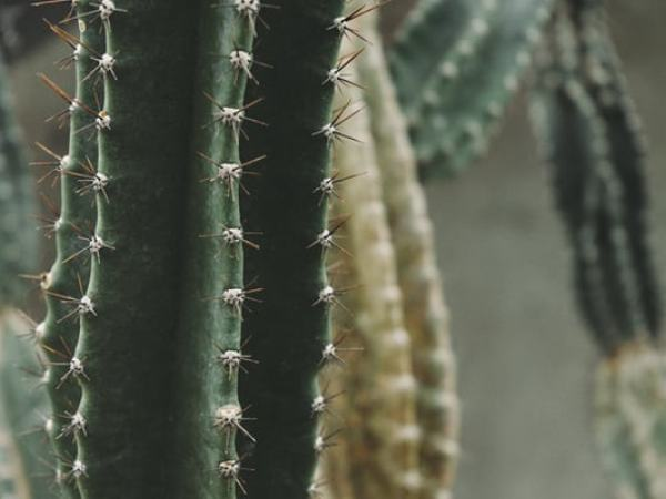 close up of cactus needles