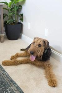The Best Carpet for Pets - The Home Depot PetProof Carpet