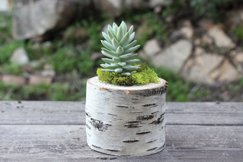Birch Log Succulent Planter