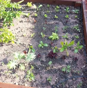 mesclun greens garden