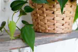 philodendron | black thumb plants | black thumb gardening | indoor plants | indoor plants decor | indoor plants low light | philodendron care | philodendron plant | green thumb | plant lady | houseplants | easy house plants