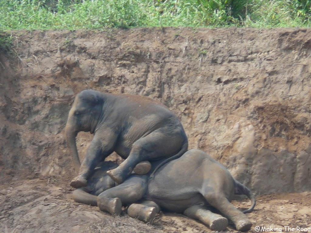 orphelinat d'éléphants au sri lanka pinnawala experience