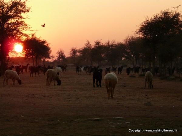 itinéraire inde du nord 2 mois visiter rajasthan mouton jasailmer
