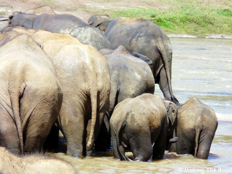 sri lanka voir des éléphants safari pinawela