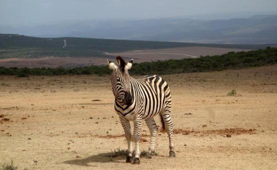 auto safari addo elephant park conseils afrique du sud road trip 3 semaines zèbre