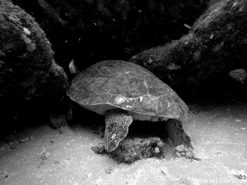 plonger voir des tortues aliwal shoal afrique du sud