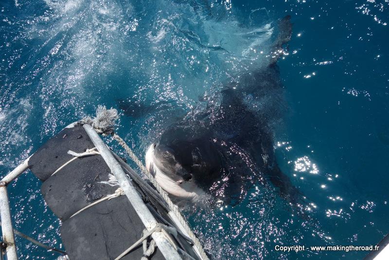 nager avec les requins afrique du sud