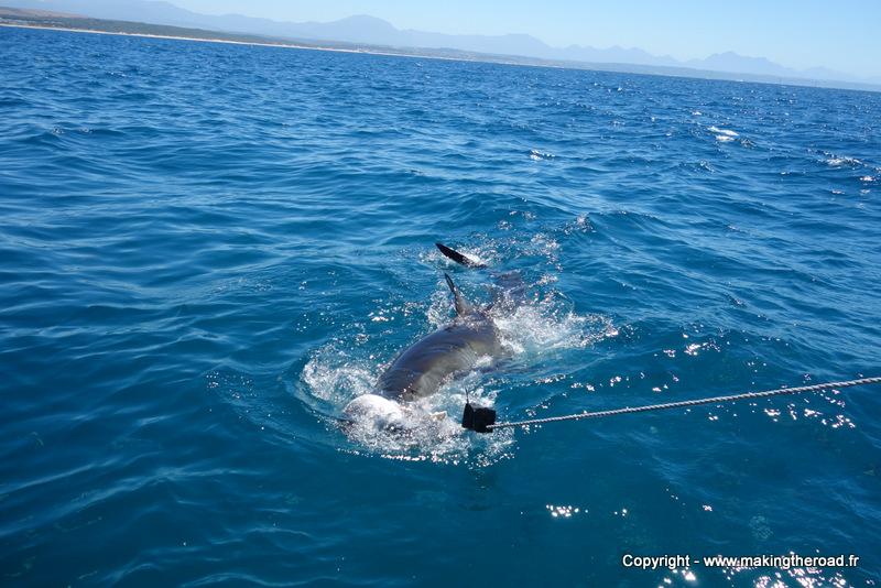nager avec les requins afrique du sud prix