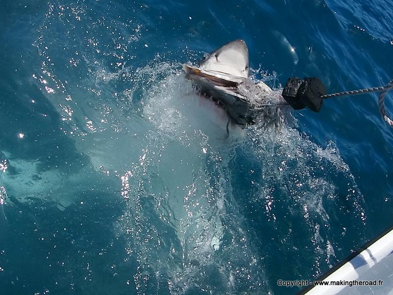 plonger avec les requins afrique du sud