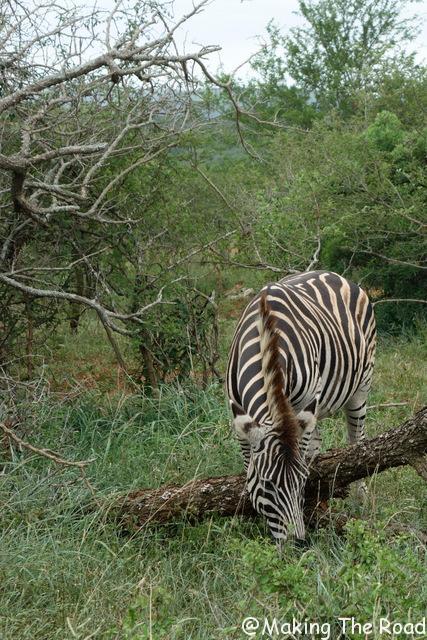 Hluhluwe Umfolozi safari voir des zebre