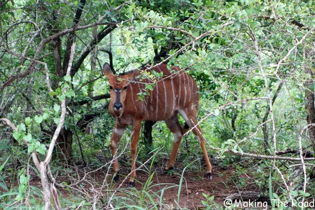reserve afrique du sud Hluhluwe Umfolozi antilope organiser safari