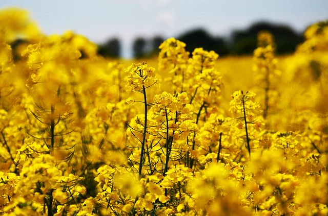 oilseed-rape-1494662_640