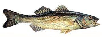 levrek Türkiye'deki balık çeşitleri nelerdir?