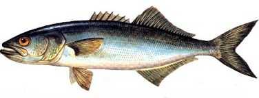lufer Türkiye'deki balık çeşitleri nelerdir?