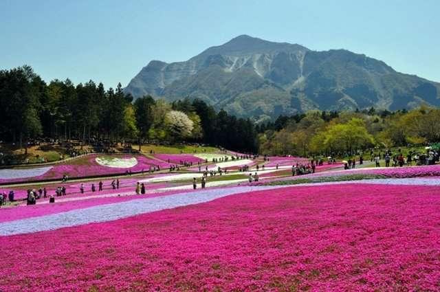 Sibazakura-tepesi-japonya-2 Renkli ve İnanılmaz Dünya Manzaraları